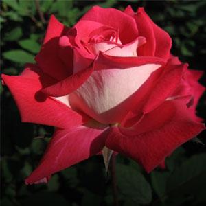 Home-trandafiri-rosii